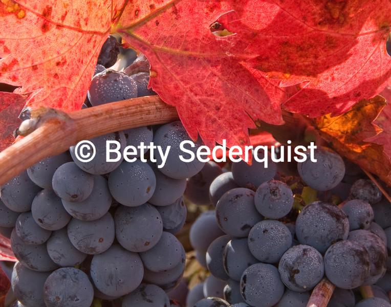 Ripe Wine Grapes