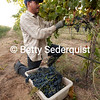 Wine Harvest at Sunrise