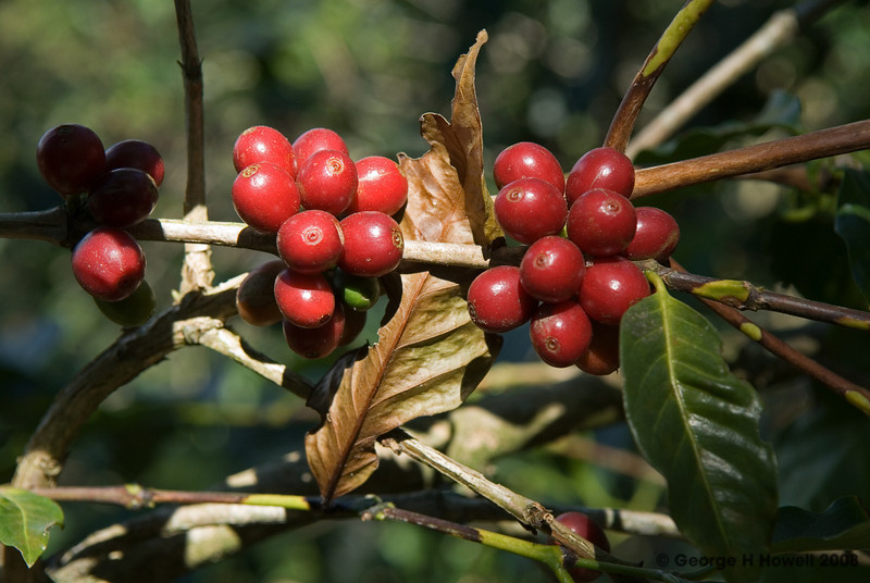 Ripe Bourbon coffee cherries.....
