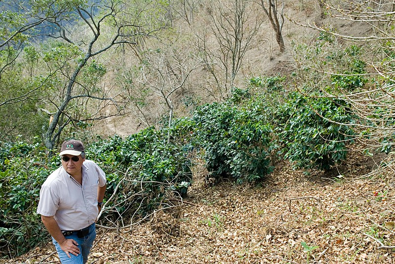 A tiny patch of coffee trees for the most part spared....  Sergio Edmundo Ticas Reyes of Los Planes Farm is seen here observing the damage on La Montana.
