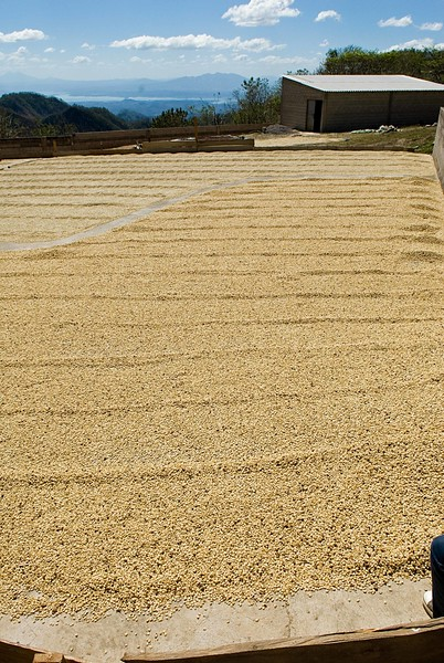 The entire pacamara variety quality production of La Montana for this year is seen here.  It is the single rectangular patch you see.  Lots from other farms can be seens further down and to the left.  Next to nothing....