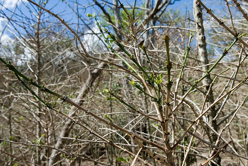 Buds have started appearing since the great winds in early January.  If it does not rain until may how will they survive?