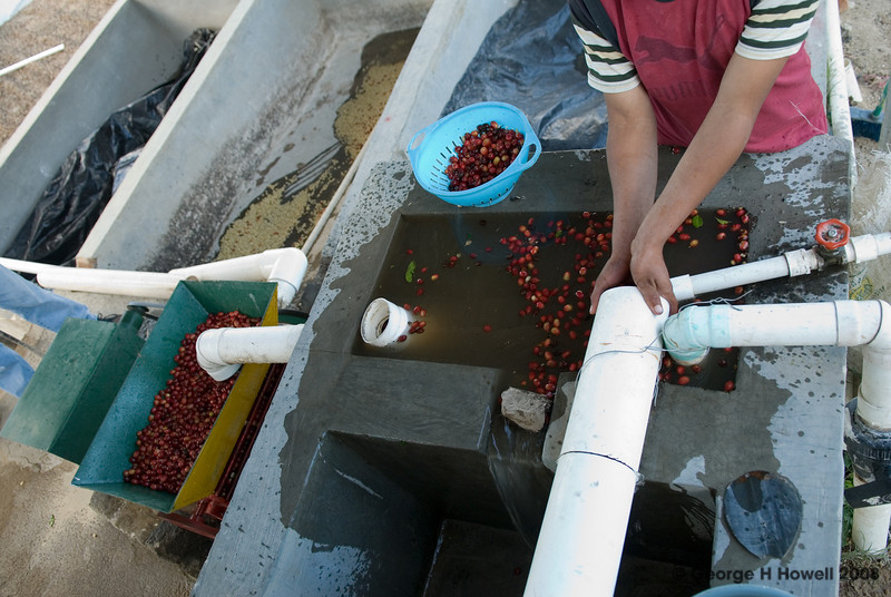 Floating cherries are over-ripe or otherwise lacking in density.  They are separated from the rest which sink and enter the depulper's hopper.