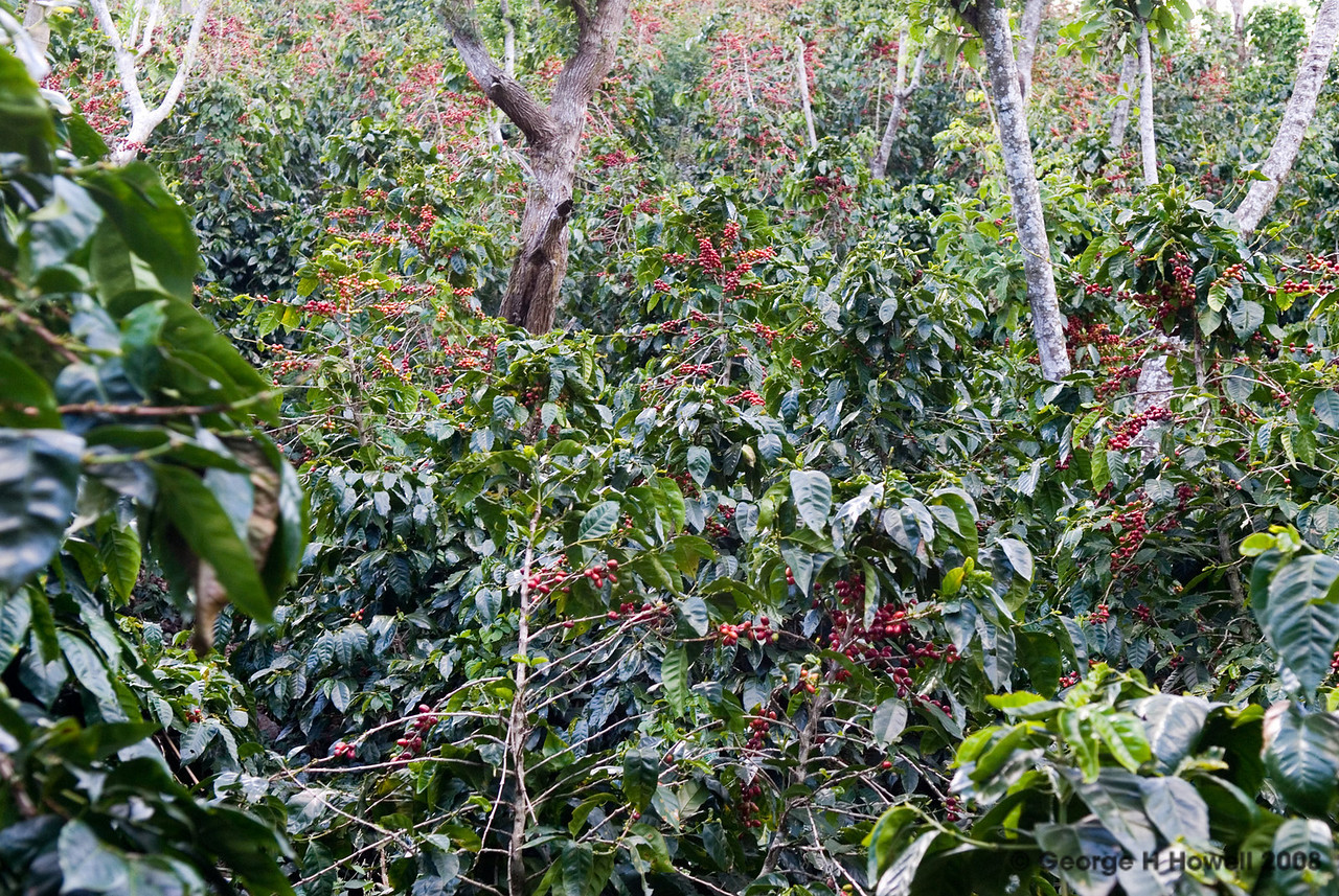 Pickers would comb this area in the next two days.  Ripe Pacamara cherry everywhere!