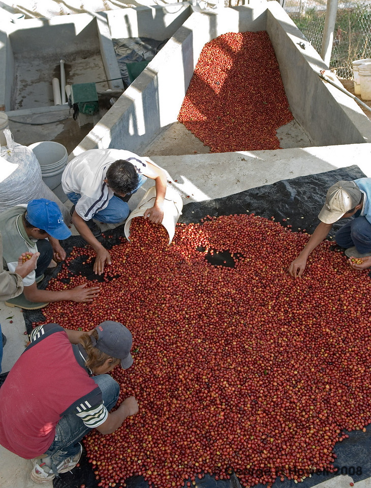 Pickers sorting the coffee cherries.  These were hit and dessicated by the great winds two weeks earlier.  They would not make top grade according to Sergio.