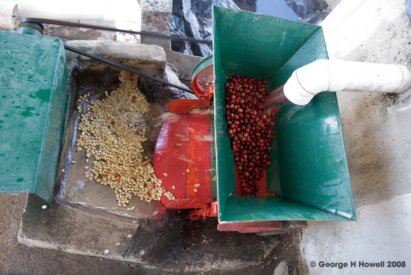 The depulper strips the skins away, leaving the beans coated in mucilage.  They will stay in tanks for over 12 hours during which time the mucilage will break down through enzymatic action.  Turbulent water will then wash all the fruit away and the bean will be laid out on the patio to begin drying - which will take 5 to 7 days....