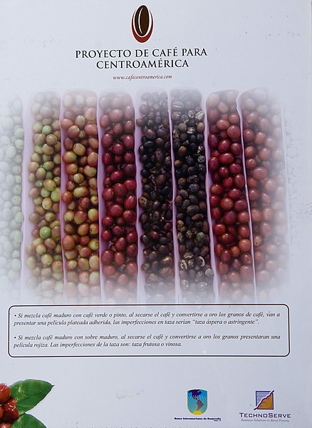 """A great poster put out by the Proyecto de Cafe para Centroamerica  <a href=""""http://www.cafecentroamerica.com/"""">http://www.cafecentroamerica.com/</a>), showing that only red coffee cherry should be picked, not over-ripes, unripes or """"pintones"""" - partially ripe fruits."""