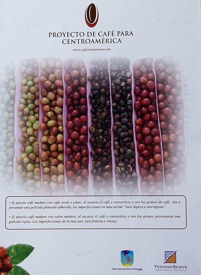 "A great poster put out by the Proyecto de Cafe para Centroamerica  <a href=""http://www.cafecentroamerica.com/"">http://www.cafecentroamerica.com/</a>), showing that only red coffee cherry should be picked, not over-ripes, unripes or ""pintones"" - partially ripe fruits."