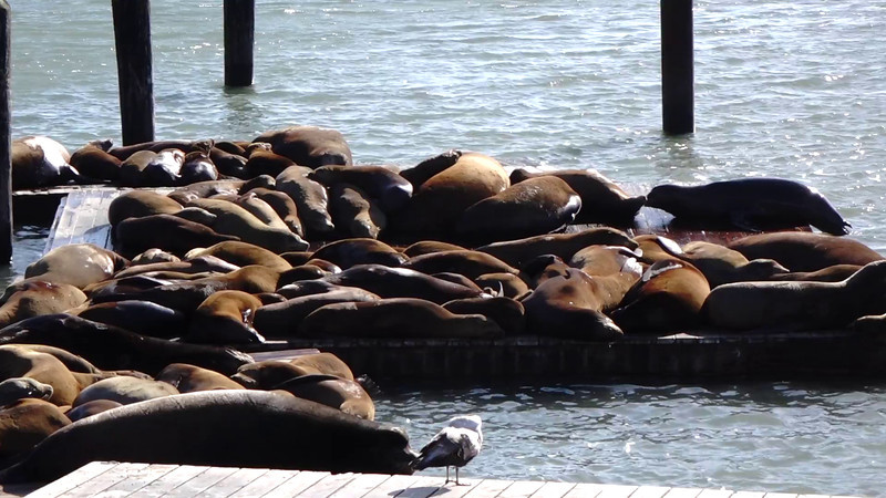 San Francisco's famous sea lions. Sample video, Sony RX10, shot at full zoom, without tripod.