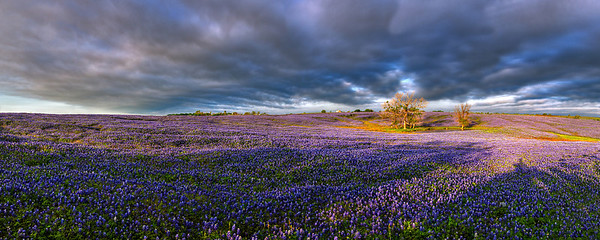 """The Field""  Ennis, TX This incredible bluebonnet field is located in Ennis, TX.  In 2012 the early Texas Spring rains provided for a bumper crop of bluebonnets. Technical Details: Shot with Canon 5d MK2 and Canon 24-70mm lens."