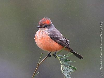 Vermilion Flycatcher in the Rain