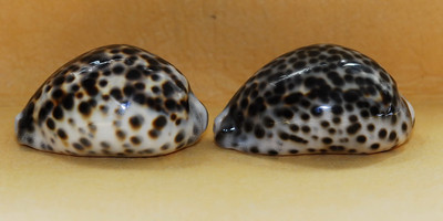 Tiger Cowry (Cypraea tigris) Hawaii