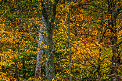 USA Indiana.  Frame filling image of golden trees in autumn.