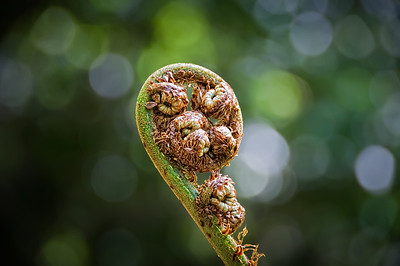 Australia, World Heritage Blue Mountains National Park, Tree Fern Fiddlehead