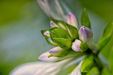 Close-up of trumpet-shaped flowers of Hosta plant prior to opening.