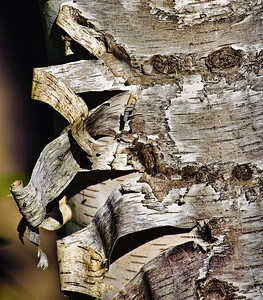 Close-up of peeling bark of birch tree