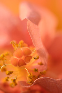 Extreme close-up detail of an orange Hibiscus flower showing the Pistil and Stigma