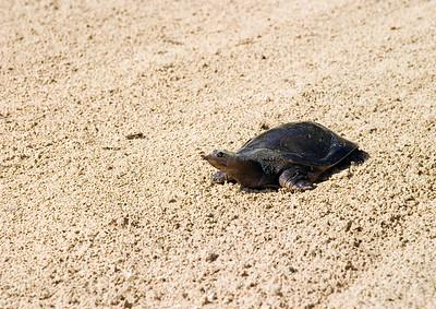 Softshell turtle in my trap