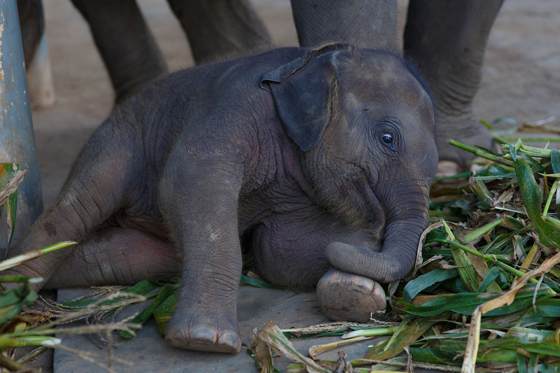 Baby elephant wakes up for dinner with excited, wide eyes.