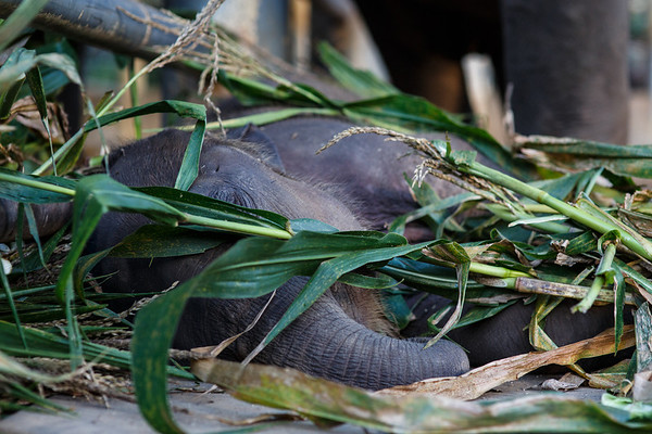 Baby elephant gets buried by Big Elephants messy eating