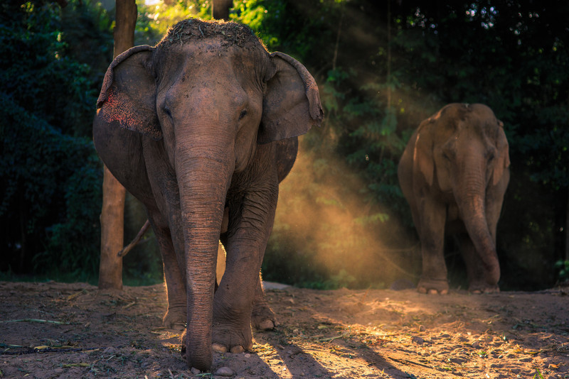 A pair of Elephants  wait for dinner in the late afternoon light at Elephant Nature Park in Chiang Mai, Thailand.   Canon 5D Mark III, Sigma 85mm, 1/320, f/2.8