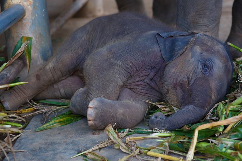 Baby elephant decides that's too much work and goes back to sleep.