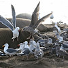 Gulls fight over placenta