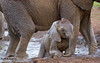 20070827_Tarangire-Tanzania-Mudbath-elephant-calf-9902_2709