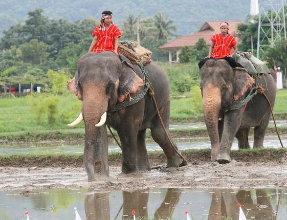 Elephants of Om Khoi 2009