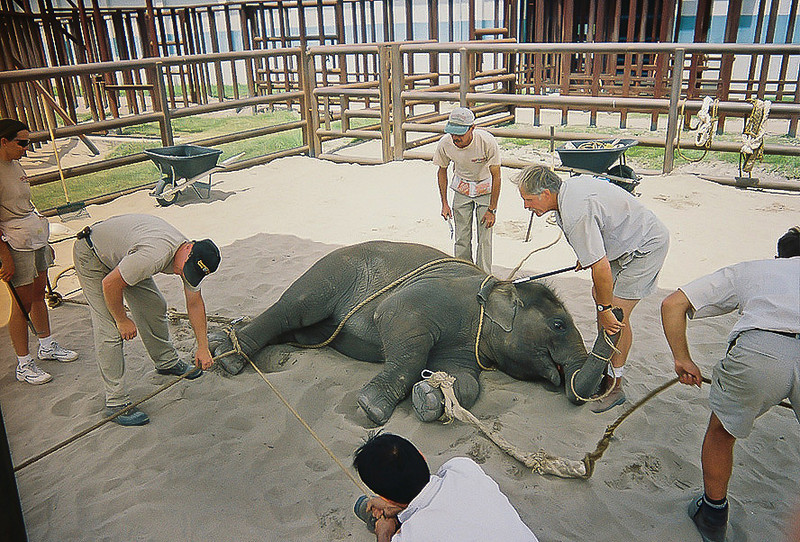 "<a class=""my_caption"">This baby elephant is being trained to lie down.  Its right hind leg is tied off to the fence while its left front leg is pulled out from under it.  Its body is then pulled in the opposite direction, forcing it to slam to the ground.  Gary holds the baby's trunk in one hand while applying pressure with a sharp bullhook behind its ear so it will stay down."