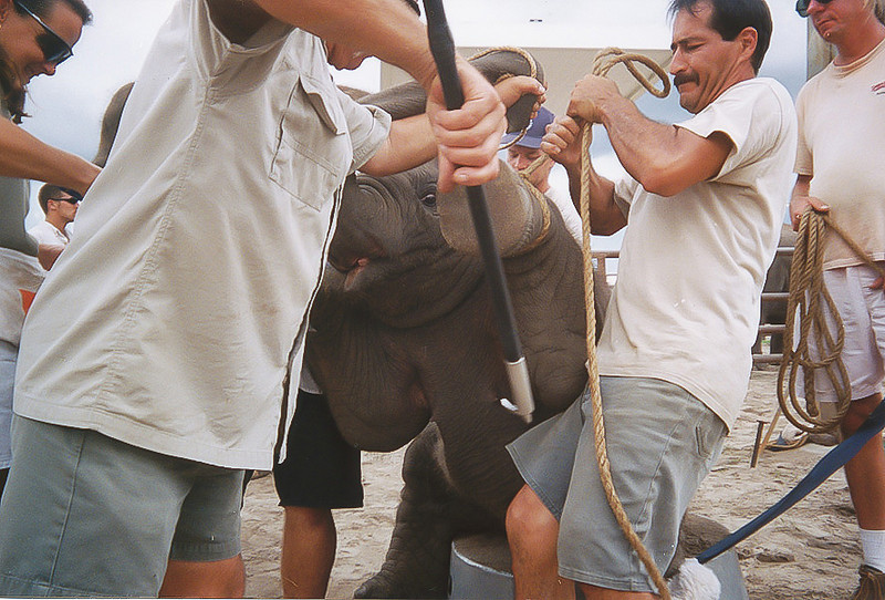 "<a class=""my_caption"">This baby elephant is being gouged with a bull hook as it is being forced to sit up on a tub.  An elephant's skin is tough but is also extremely sensitive; enough to feel a fly on its back.  Ringling's elephant handlers use the bull hook to embed into elephants' most sensitive areas, such as around the feet, behind the ears, under the chin, inside the mouth, and other locations around the face.  Sometimes it is used to smash them across the face</a><br> <i class=""journal_quote"">""The bull hook is designed for one purpose and one purpose only, to inflict pain and punishment.  I should know, I used to make them.  I built them to where you can't break them, no matter how hard you hit the elephant... I've probably made at least fifty bull hooks throughout my career.""</i><a class=""sams_name""> --Sam Haddock<a>"