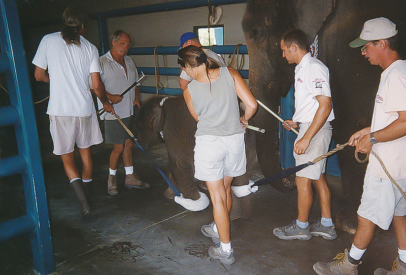 "<a class=""my_caption"">Tethered to an adult anchor elephant, the baby is walked around the barn as six CEC staff control every movement.  It requires a massive effort to break a baby elephant of its instinct to roam and play.</a>"