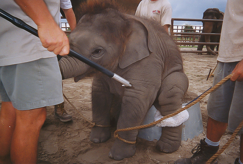 "<a class=""my_caption""> A baby elephant is again being gouged with a bullhook while it's being trained to sit on a tub.  This is the trick that killed Riccardo, an 8-month-old baby elephant born at the CEC.  Riccardo fractured both of his hind legs during training at the CEC when he fell from a circus pedestal that was too tall for him.  See Sam's statement (link at bottom of page) for details on this incident and read how Riccardo was forced to hobble 100 yards back to his pen on his shattered legs before being taken away and driven 135 miles to be euthanized."