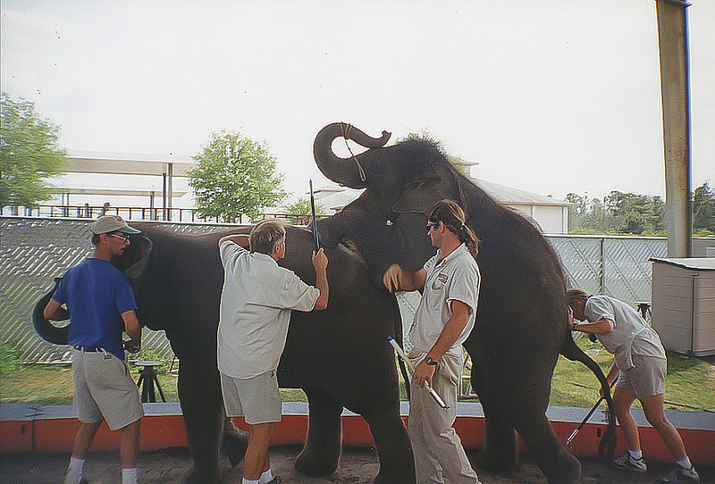 "<a class=""my_caption"">This is elephant is screaming as it is being trained to perform the ""walking long mount"".  A bullhook is pushed into its back legs to force it to take steps as it is threatened with another bullhook if it takes its feet off the elephant's back.  Another trainer stands by with an electric cattle prod, just in case.  This ridiculous trick places almost all of the elephant's weight on to its back legs and over time results in osteoarthritis, a condition that plagues many of Ringling's elephants.  Osteoarthritis does not excuse them from performing, it just means that they must perform in pain.</a>"