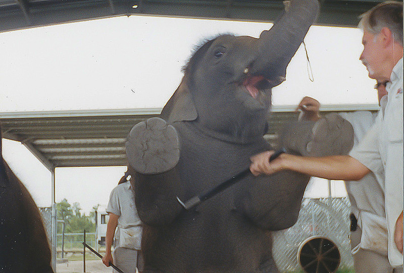 "<a class=""my_caption"">It is so common for Ringling's elephants to have their skin pierced by bullhooks that Ringling uses the term ""spot work"" to describe the application of a powder to conceal the wounds and stop the bleeding on elephants that have been ""hooked"" too hard.  This ""magic dust"" as Ringling calls it, prevents the injuries from being visible when the elephants are performing, during the circus.</a><br> <i class=""journal_quote""> ""During these training sessions the baby is screaming and struggling the whole time.  Some photos show the elephants with their mouths open because they are screaming.""</i><a class=""sams_name""> --Sam Haddock<a>"