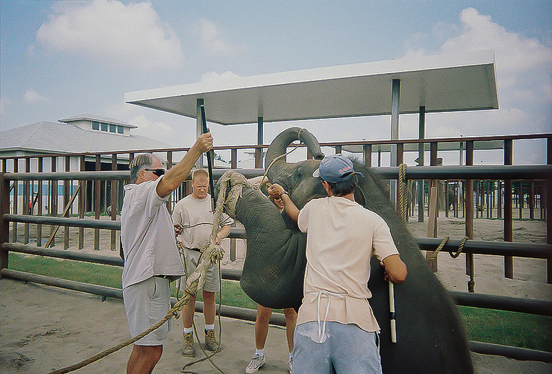"<a class=""my_caption"">Bullhooks are pushed into the sensitive areas behind this baby's feet in order to train it to sit up, a completely unnatural movement for an elephant.  Note the electric prod in the trainers hand, in case ropes and bullhooks aren't enough.</a>"