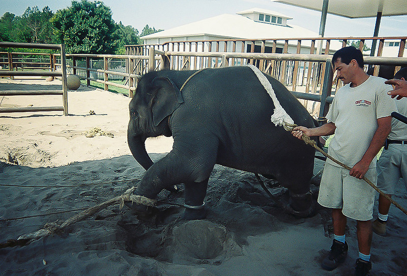 "<a class=""my_caption"">This baby elephant is being prepped for a training session.  Ropes are tied around all four legs, its neck, chest and trunk.</a><br> <i class=""journal_quote""> ""After the initial training session, the babies fight to resist having the snatch rope out on them, until they eventually give up.  The snatch rope goes over their back, under their belly, and is fastened to their left hind leg.  We drive stakes into the ground in the ring area.  The ropes are tied to the stakes or to bars.""</i><a class=""sams_name""> --Sam Haddock<a>"