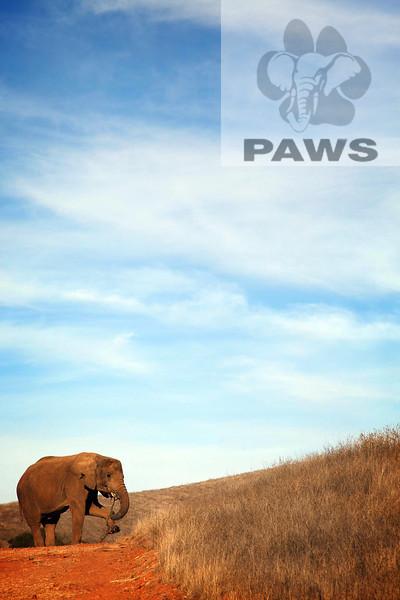 Iringa African Elephant