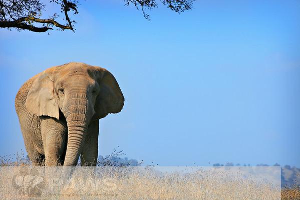 Lulu African Elephant