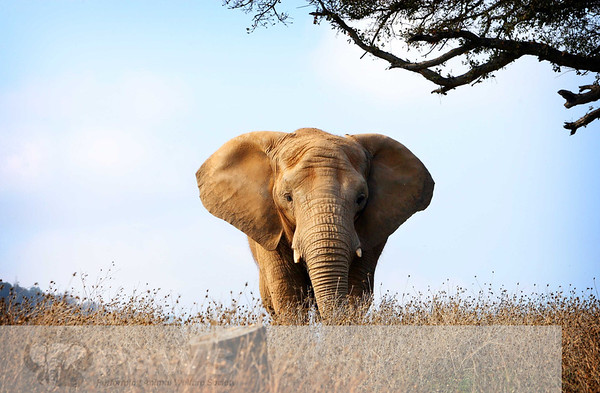 Maggie African Elephant