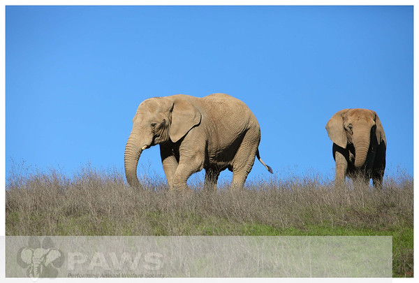 Ruby and Maggie African Elephants