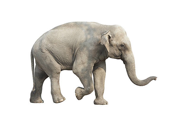 A gray elephant pictured against a white background