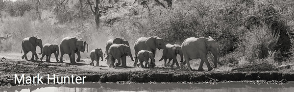 African Elephants Approaching