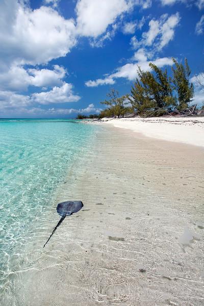 Stingray along shoreline in the Bahamas
