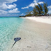 Stingray along shoreline in the Bahamas