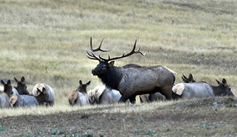 Elk Herd Outside Longmont