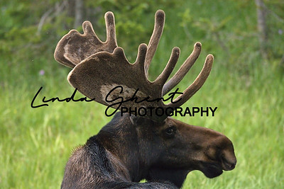 The Crags Bull Moose