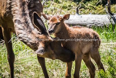 Elk, Deer, Pronghorn