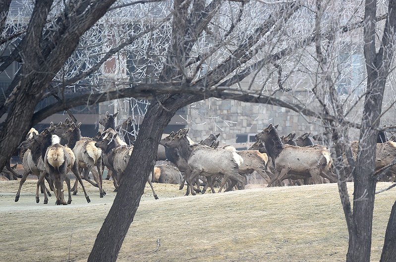 A herd of elk is spooked by a noise at the Mariana Butte Golf Course Friday, Feb. 9, 2018, in west Loveland.  (Photo by Jenny Sparks/Loveland Reporter-Herald)