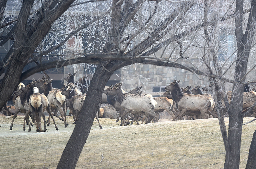 . A herd of elk is spooked by a noise at the Mariana Butte Golf Course Friday, Feb. 9, 2018, in west Loveland.  (Photo by Jenny Sparks/Loveland Reporter-Herald)